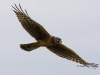 Northern Harrier 01