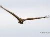 Northern Harrier 02