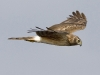 Northern Harrier 03