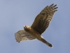 Northern Harrier 04