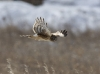 Northern Harrier 06