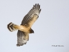 Northern Harrier 07