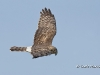 Northern Harrier 08