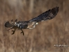 Red Tailed Hawk 01