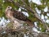 Red Tailed Hawk 11