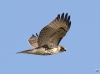 Red Tailed Hawk 14