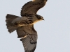 Red Tailed Hawk 15