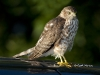 Sharp Shinned Hawk 01