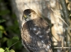 Sharp Shinned Hawk 02