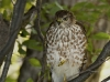 Sharp Shinned Hawk 03