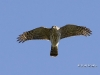 Sharp Shinned Hawk 04
