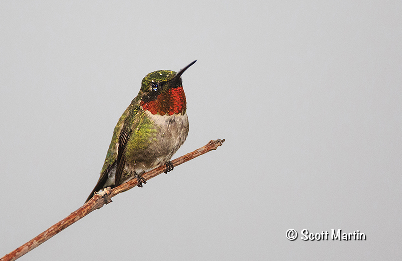 Ruby Throated Hummingbird 17