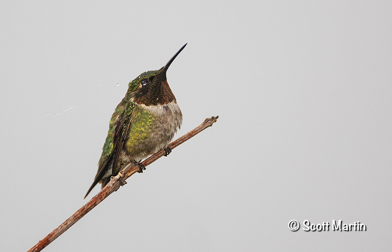 Ruby Throated Hummingbird 18