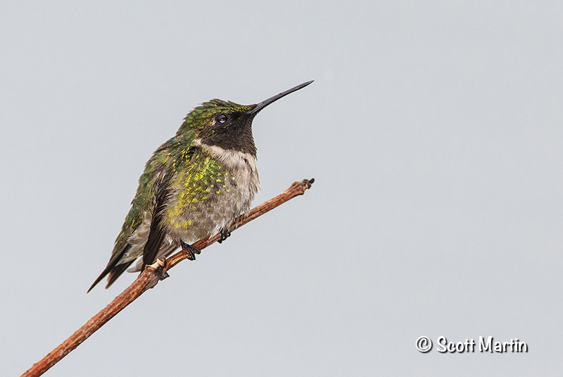 Ruby Throated Hummingbird 19
