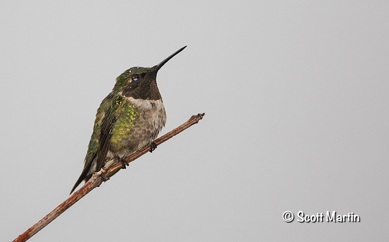 Ruby Throated Hummingbird 21