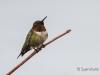 Ruby Throated Hummingbird 20