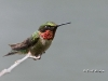 Ruby Throated Hummingbird 01