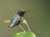 Ruby Throated Hummingbird 02