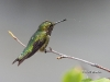 Ruby Throated Hummingbird 03