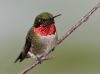 Ruby Throated Hummingbird 04