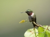 Ruby Throated Hummingbird 05