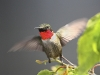 Ruby Throated Hummingbird 06