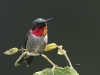 Ruby Throated Hummingbird 07