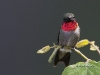 Ruby Throated Hummingbird 08