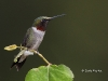 Ruby Throated Hummingbird 09