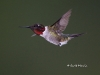 Ruby Throated Hummingbird 11
