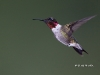 Ruby Throated Hummingbird 12