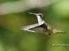 Ruby Throated Hummingbird 14