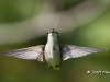 Ruby Throated Hummingbird 15
