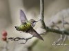 Ruby Throated Hummingbird 16
