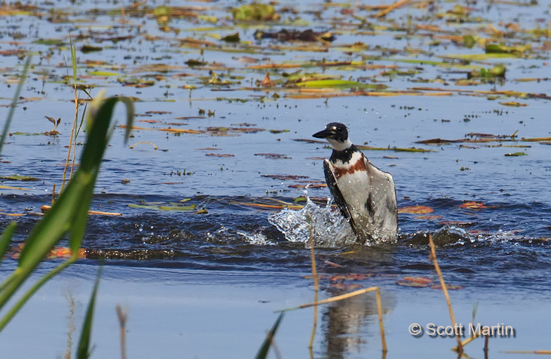 Belted Kingfisher 04