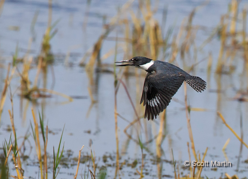 Belted Kingfisher 08