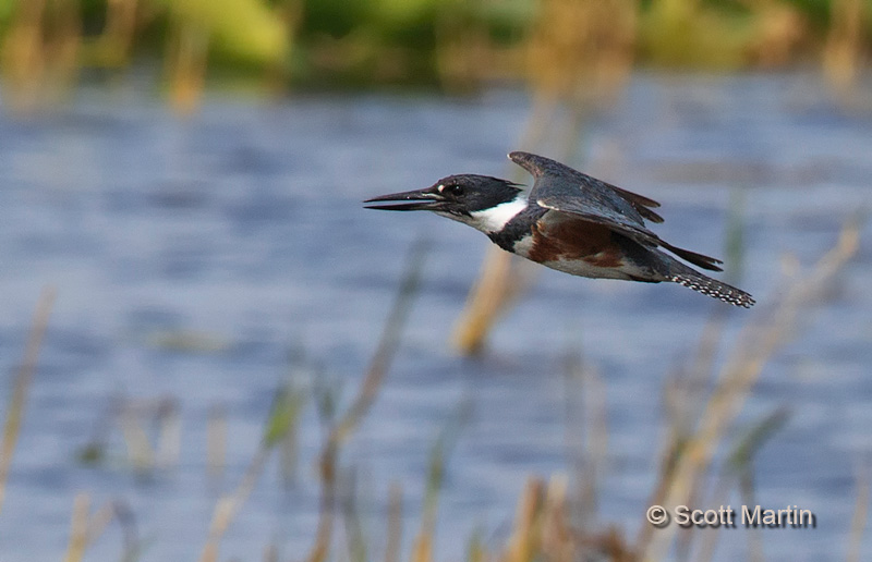 Belted Kingfisher 09