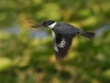 Belted Kingfisher 11