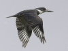 Belted Kingfisher 12