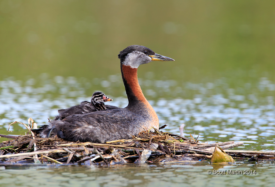 Red-necked Grebe_13