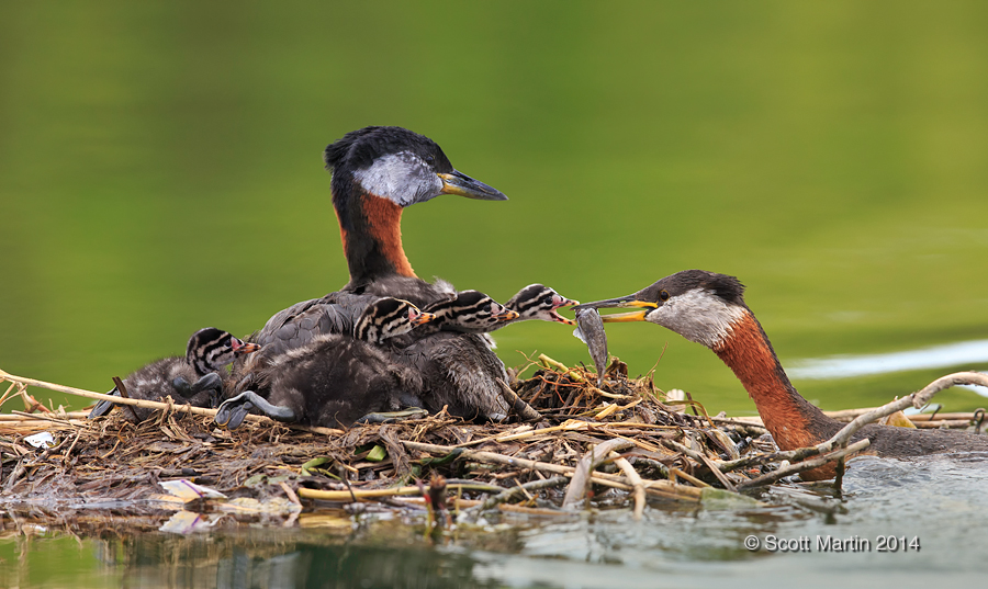 Red-necked Grebe_205