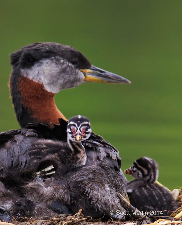 Red-necked Grebe_212