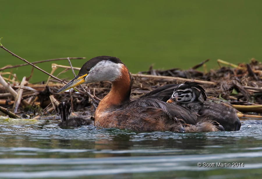 Red-necked Grebe_307