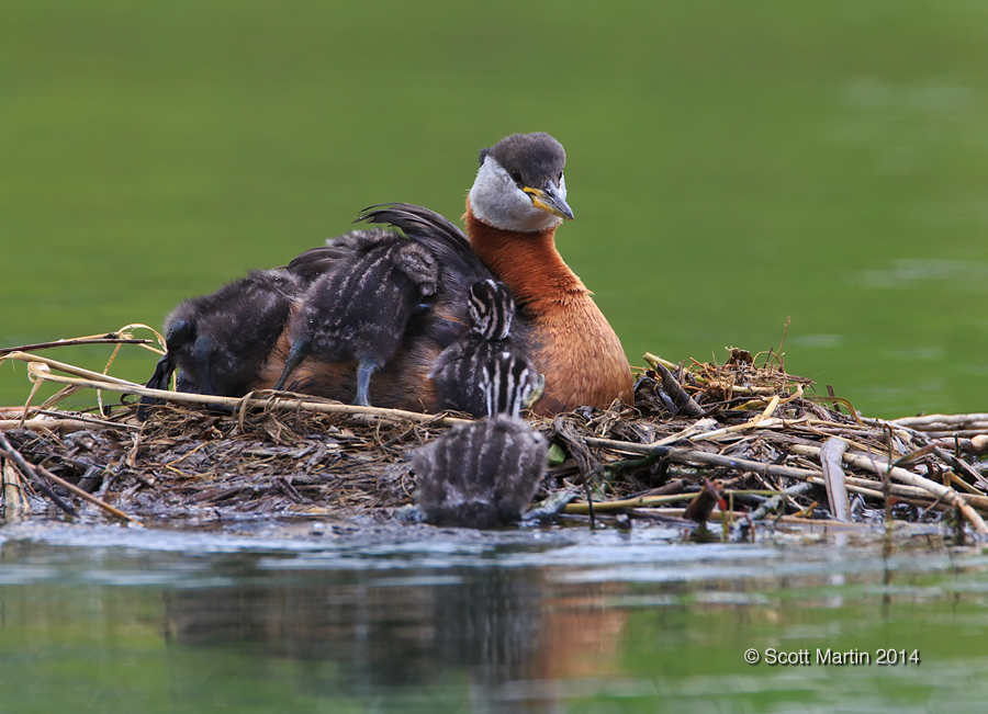 Red-necked Grebe_353