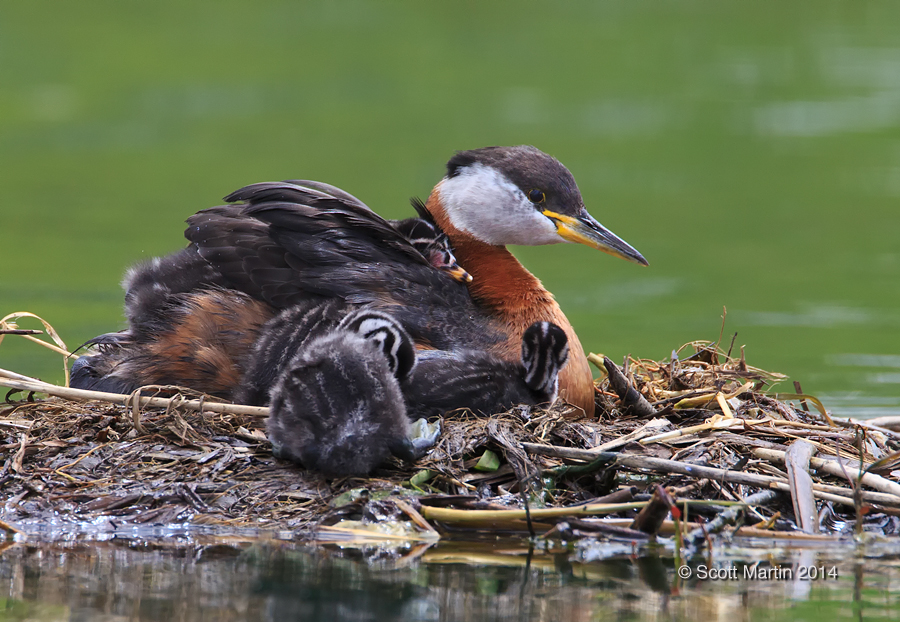 Red-necked Grebe_366