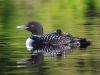 Loons 2015_0079