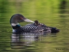 Loons 2015_0093
