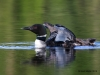 Loons 2015_0286