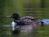 Loons 2015_0332