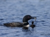 Loons 2015_0403